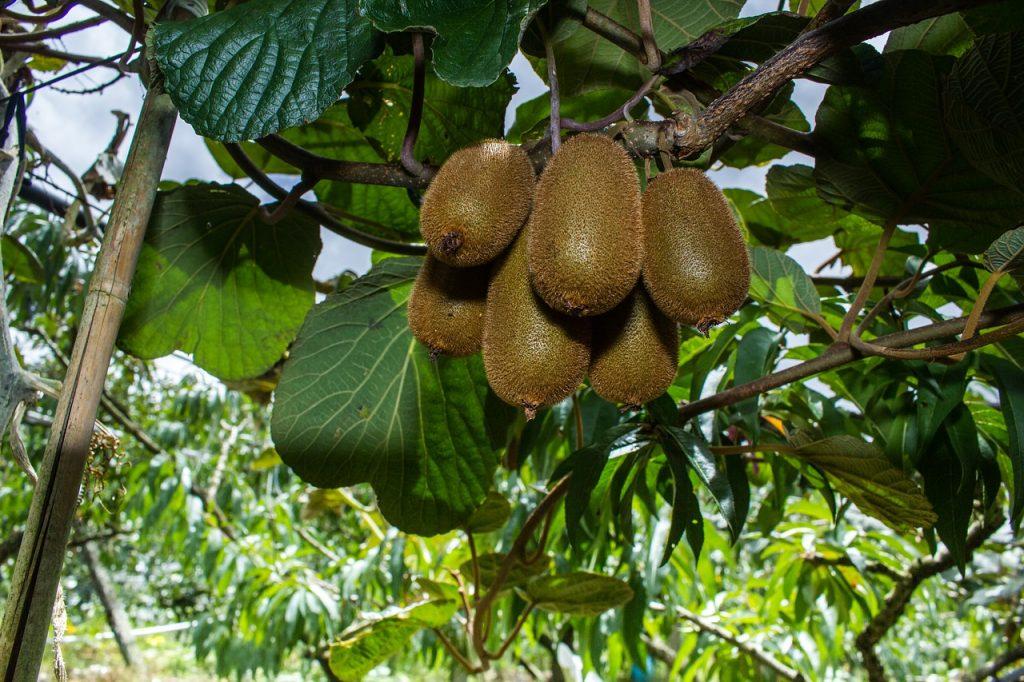 kiwi cultivo, cultivo kiwi, cuando empieza a producir el kiwi, como sembrar un kiwi de semilla, kiwi autofertil