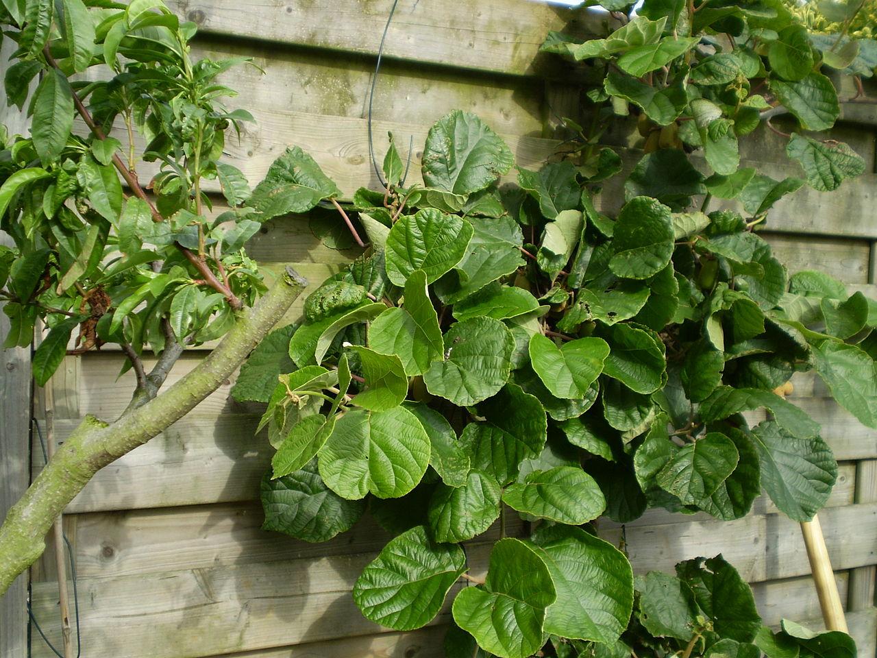 planta de kiwi macho y hembra, diferenciar kiwi macho y kiwi hembra