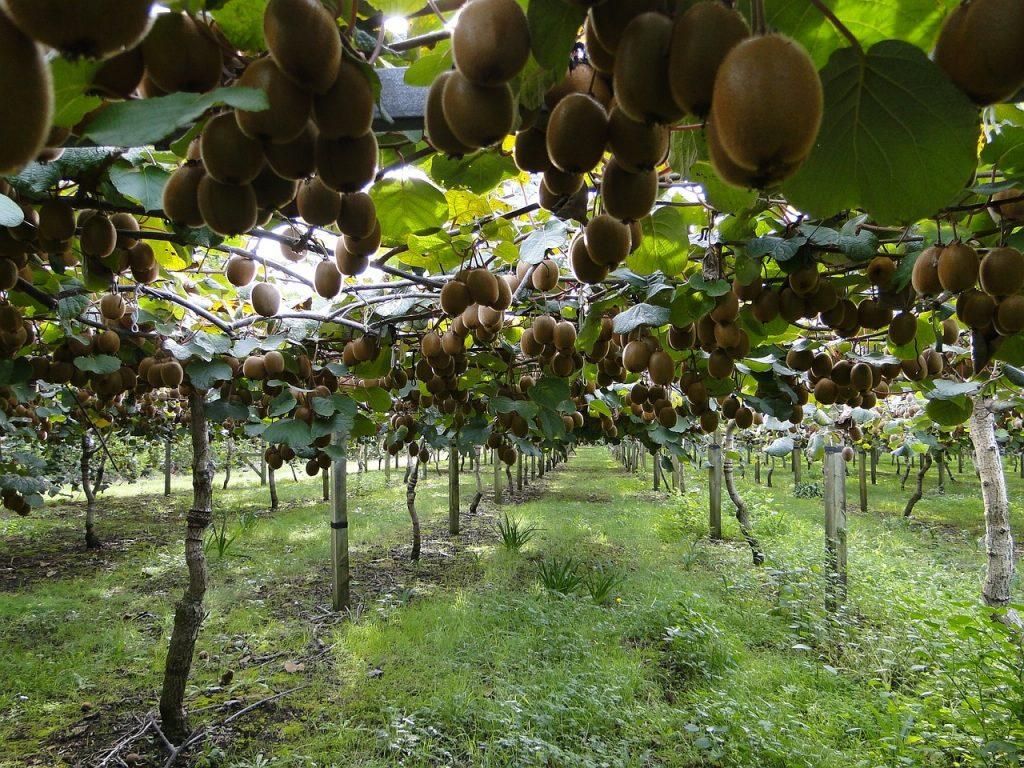 plantar kiwi, CÓMO CULTIVAR PLANTAS DE KIWI