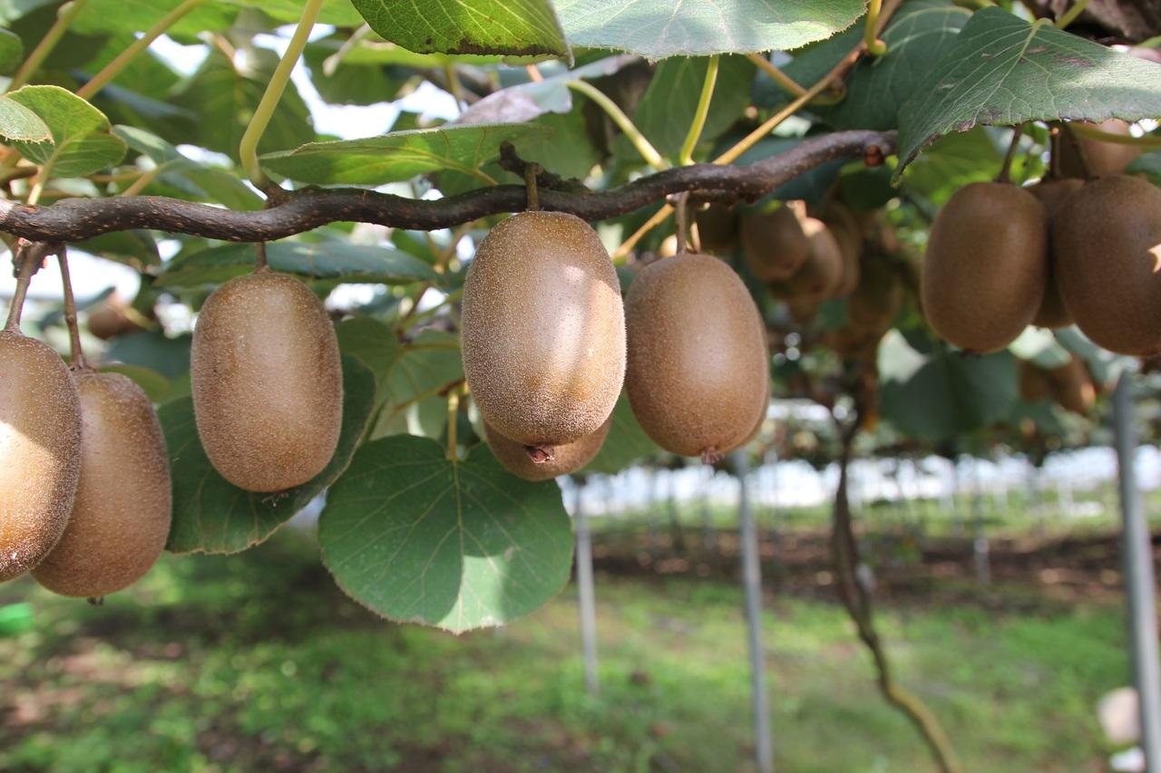 poda kiwi, poda de kiwis, poda del kiwi, cómo podar la planta de kiwi